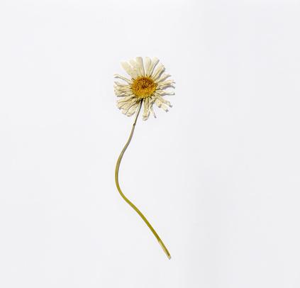Dried daisy flower.