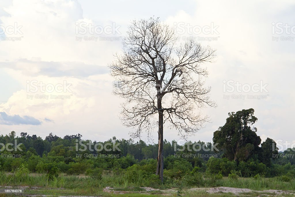 Dried dead trees royalty-free stock photo
