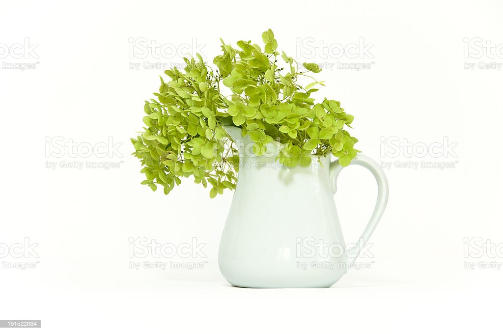 Dried delicate green hortensia (hydrangea) flowers in white pott stock photo