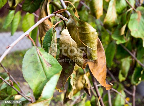 Dried, diseased fruit tree leaves in the middle of summer