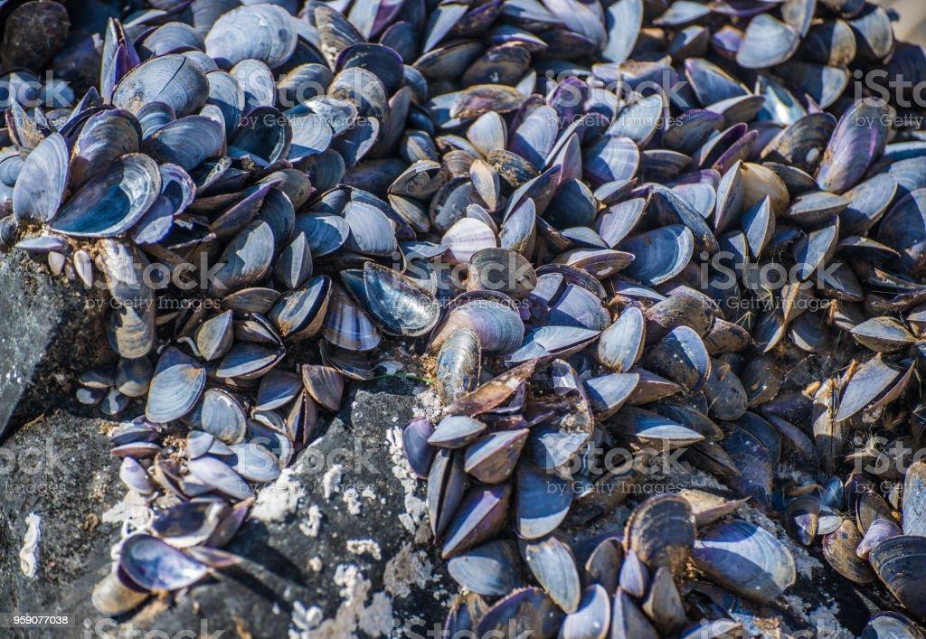 Dried empty shells of molluscs. stock photo
