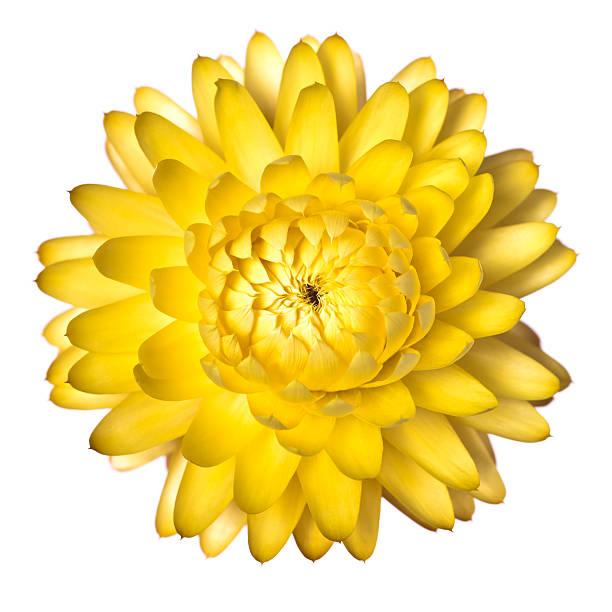 Getrocknete Blume. – Foto