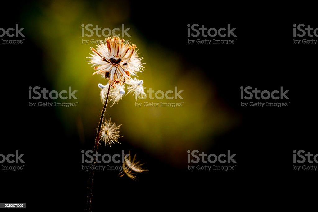 Dried flowers blowing stock photo