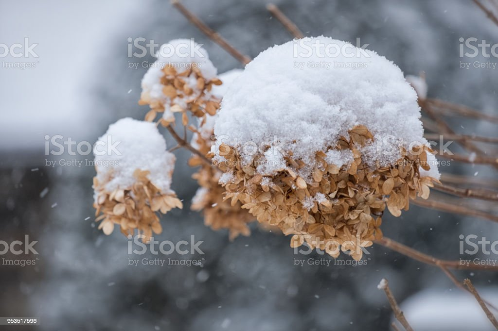 Dried flowers in snow stock photo