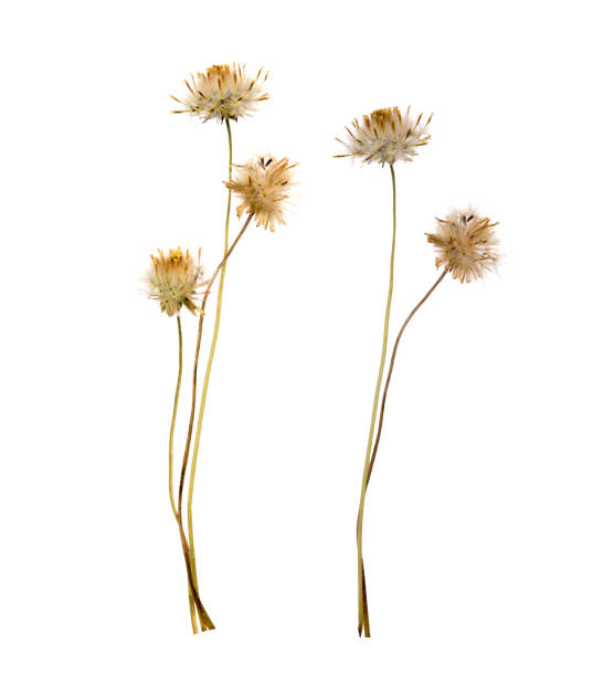 Dried flowers isolated on white background picture id1201663160?b=1&k=6&m=1201663160&s=612x612&w=0&h=64qfsqmqjjebkqjdmxrqplp23jh2oqapb3pvu2umm9s=