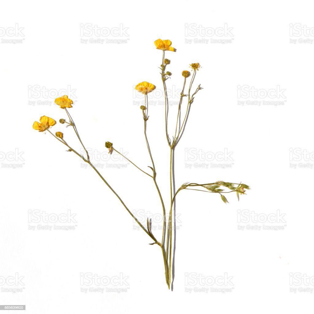Dried Flowers On A White Background Stock Photo More Pictures Of