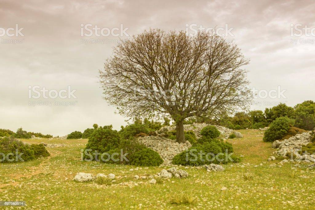 dried fruit tree by famous lycian road pedesterian walking footpath between fethiye to kas mugla turkey stock photo