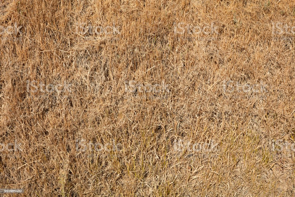 Dried grass texture background in summer from above stock photo