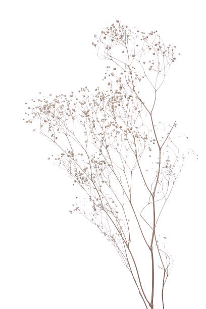 dried gypsophila dried gypsophila  isolated on white  background dried plant stock pictures, royalty-free photos & images