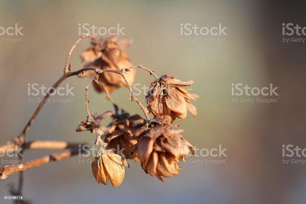 Dried humulus flowers stock photo