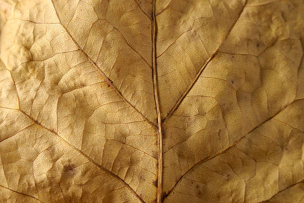 Dried leaf Close-up underside stock photo
