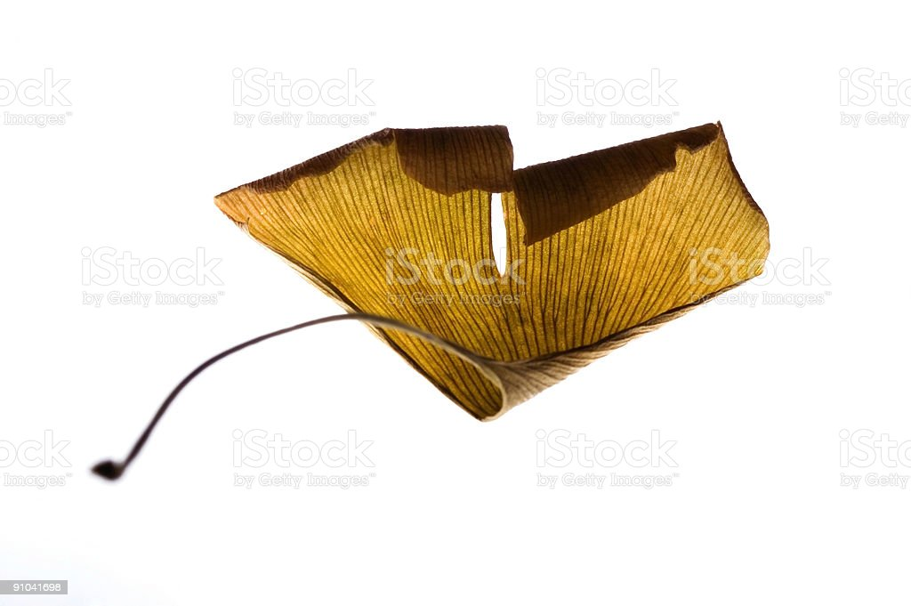 dried leaf of ginkgo biloba. herbs royalty-free stock photo
