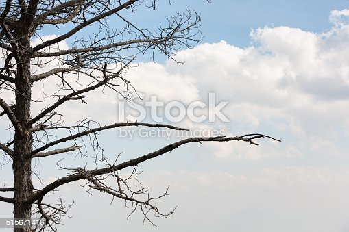 Dried tall leafless pine tree alone against blue sky and white puffy clouds