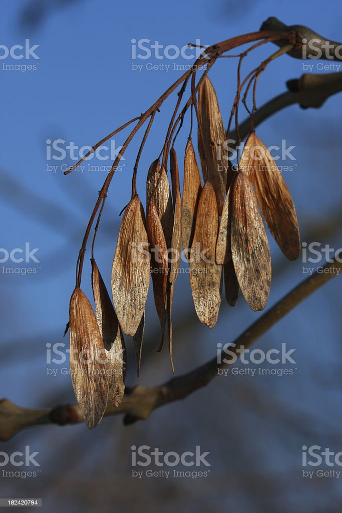 dried maple fruits royalty-free stock photo