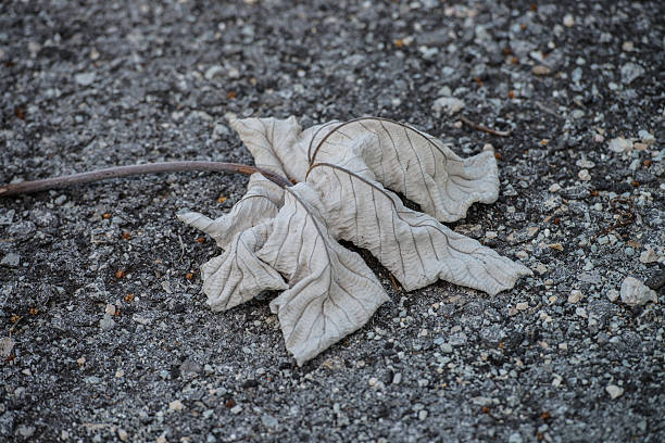 Dried maple leaf lying down on asphalt road stock photo