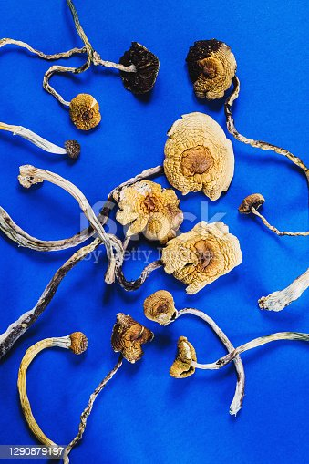 dried Mexican magic mushrooms is a psilocybe cubensis, a specie of psychedelic mushroom whose main active elements are psilocybin and psilocin - Mexican Psilocybe Cubensis. On a blue bakground. vertical orientation