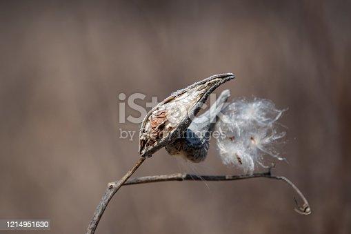 Dried milkweed (Asclepias syriaca) pod in springtime.