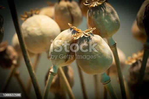 Dried opium poppy or Papaver somniferum or Breadseed poppy. opium drugs plant head.