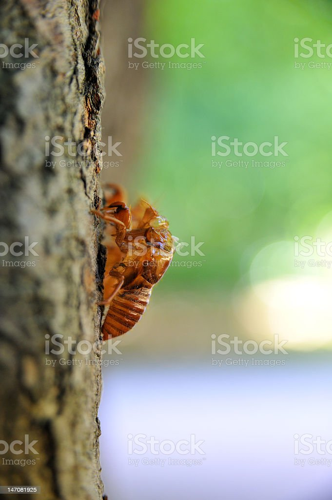 Dried out Cicada moults on a tree stock photo