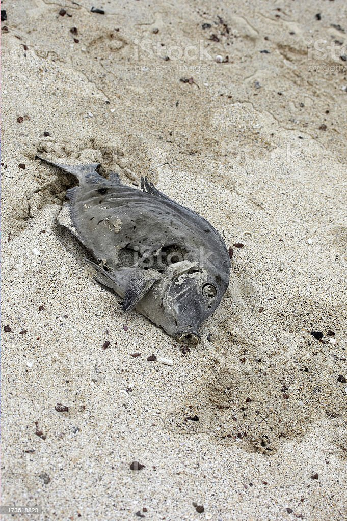 Dried out yellow tail fish on sandy beach royalty-free stock photo