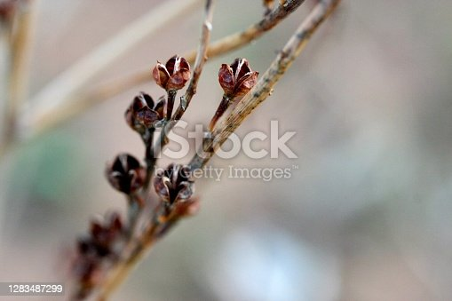 Closeup of dried Australian outback seed pods on plant stems in the Flinders Ranges, South Australia. Soft focus background