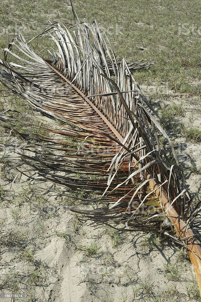 Dried Palm Frond stock photo