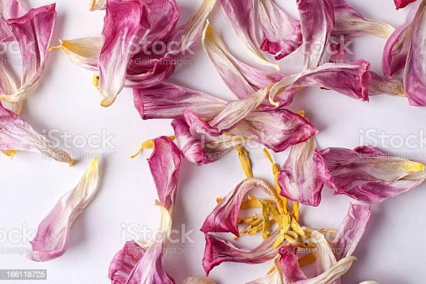 Dried petals tulips lay on a white picture id166118725?b=1&k=6&m=166118725&s=612x612&h=drnryr9z3gmywbujpsgir3ekmlo4cqfozlua6ohgnlm=