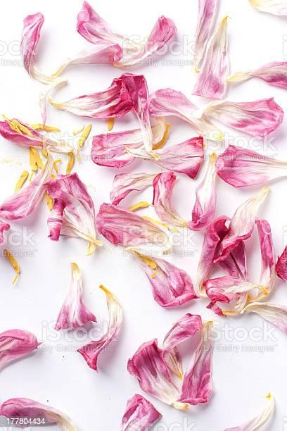 Dried petals tulips lay on a white picture id177804434?b=1&k=6&m=177804434&s=612x612&h=xmnuf07eko qabvu dpzkc 4frhff 09 55dzvvwbnm=