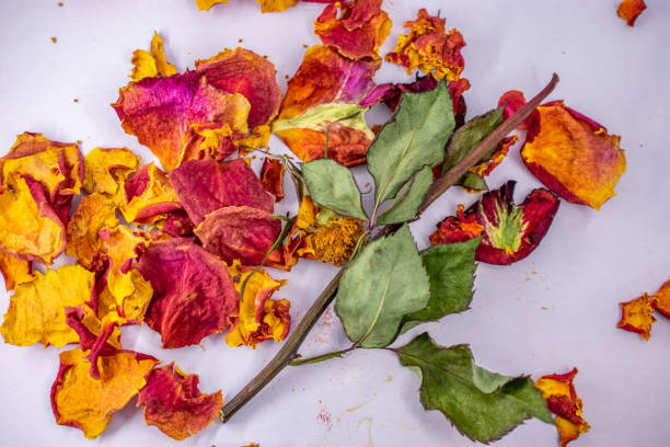 dried pieces of rose with stem stock photo
