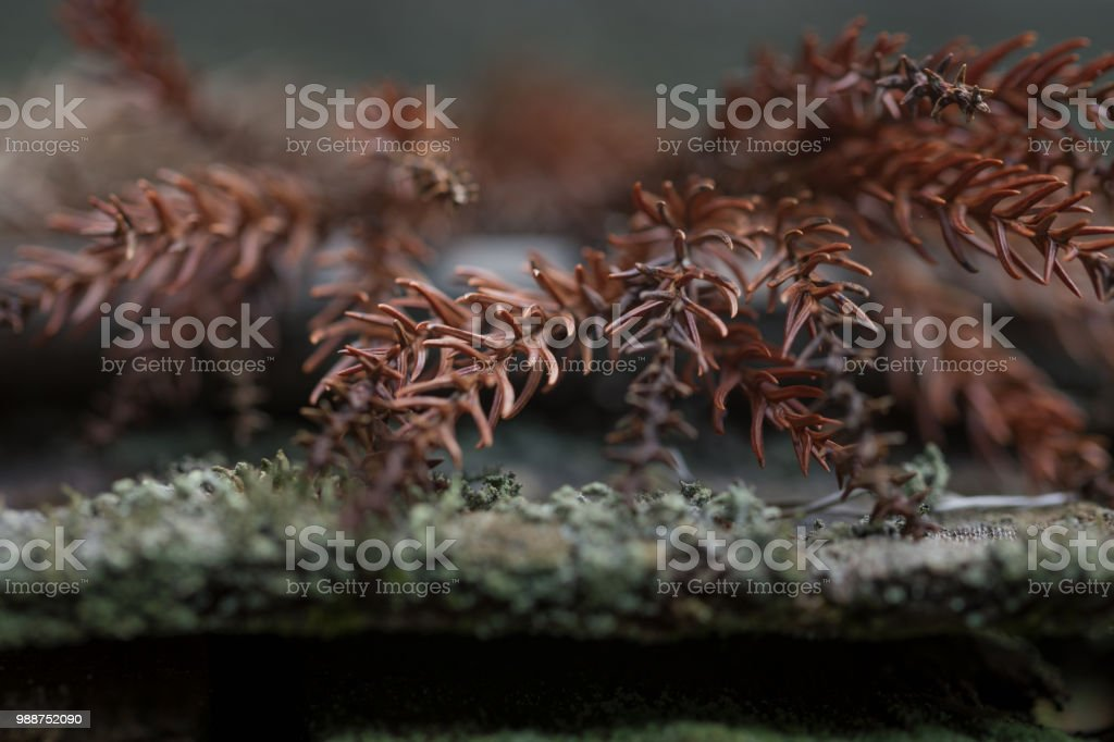 Dried pine branches stock photo