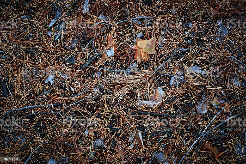 Dried pine needles pattern background texture stock photo