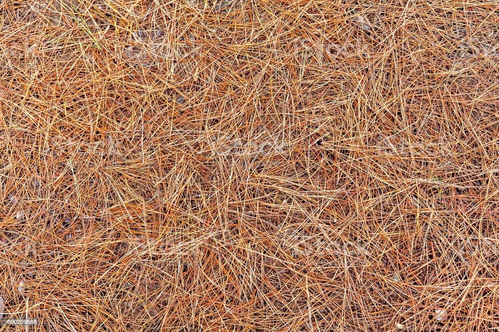 Dried Pine Needles stock photo