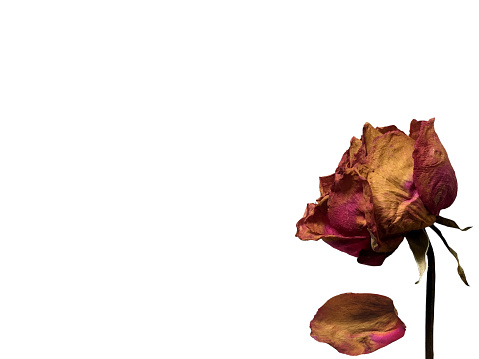 Dried pink rose isolated on white background