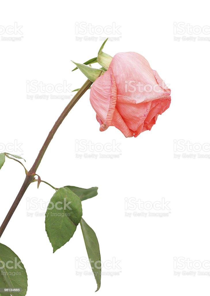 Dried pink rose, isolated royalty-free stock photo