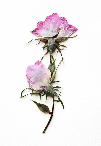 Dried pink rose on a piece of white paper stock photo