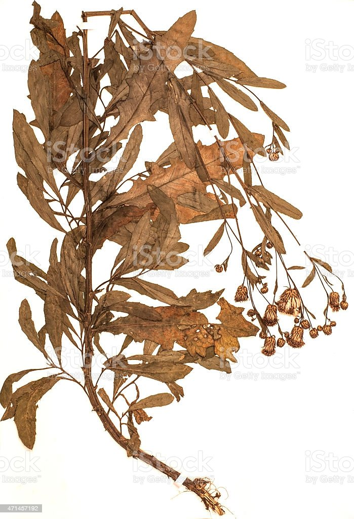Cirsium arvense Scop., dried for herbarium and stapled with stripes...