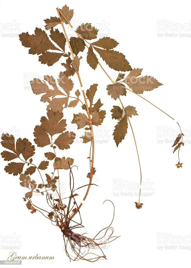 Geum urbanum L., dried for herbarium and stapled with stripes on a...