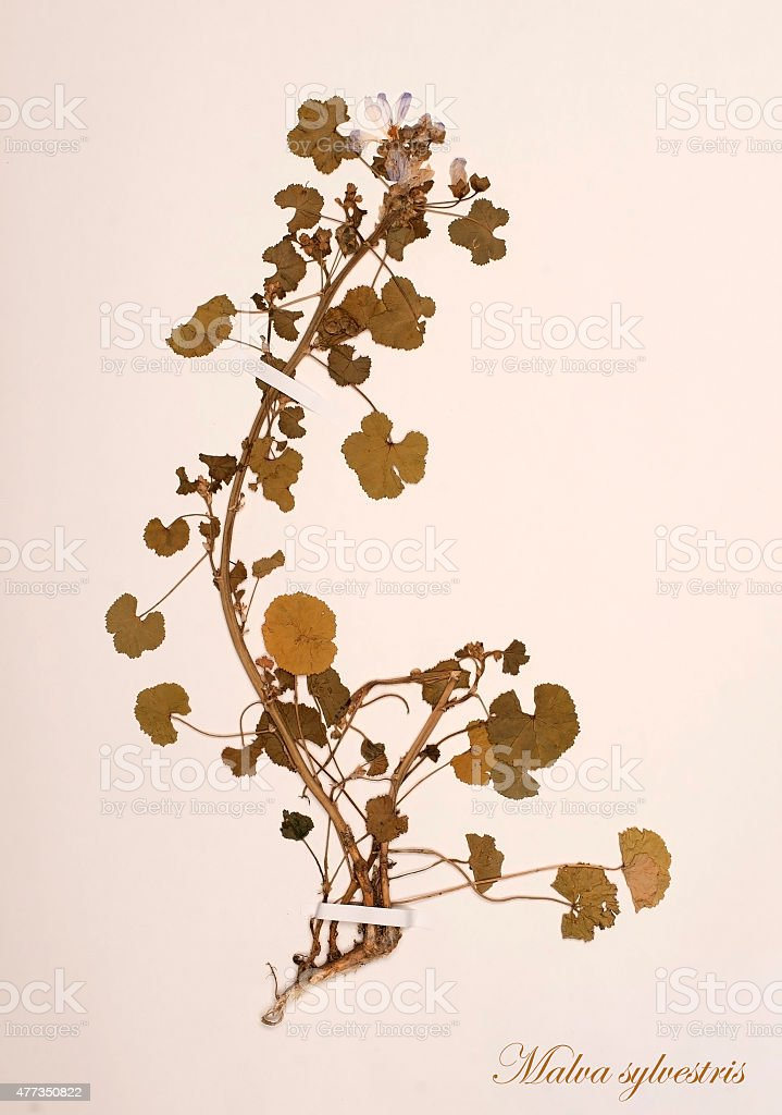 Malva sylvestris L., dried for herbarium and stapled with stripes on...