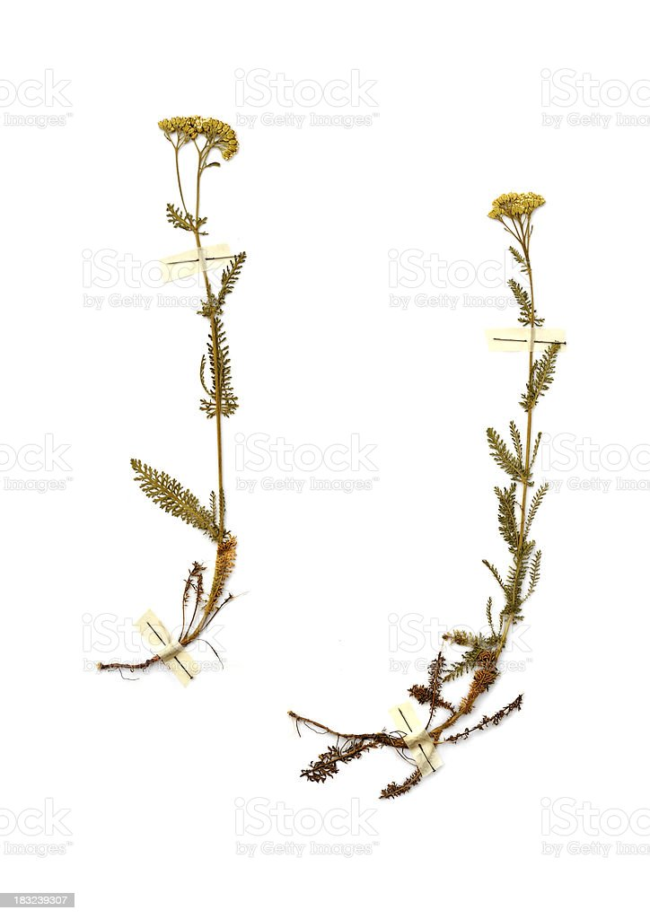 Dried plants royalty-free stock photo