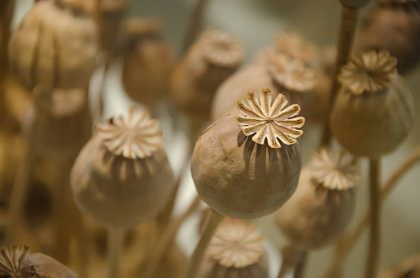 Dried Poppy Pods close up Dried Poppy Pods analgesia stock pictures, royalty-free photos & images