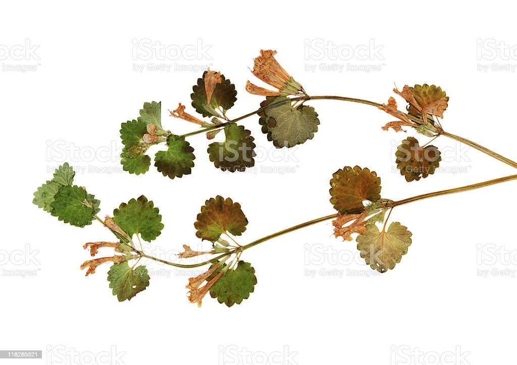 Dried pressed wildflower on white royalty-free stock photo