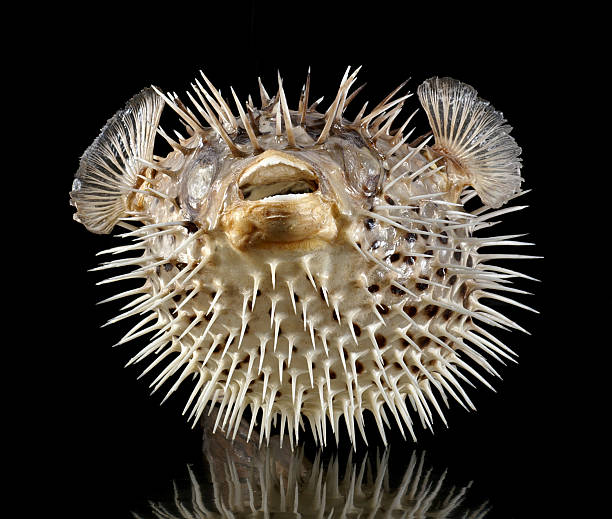 Puffer fish pictures images and stock photos istock for Puffer fish puffing