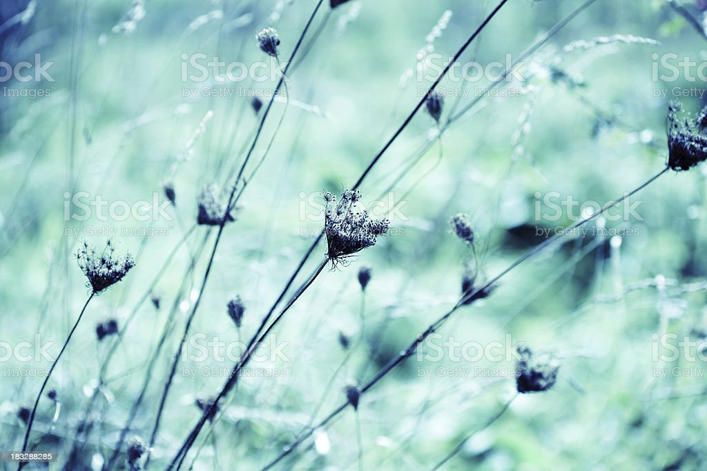 Dried Queen Anne's Lace wildflowers royalty-free stock photo