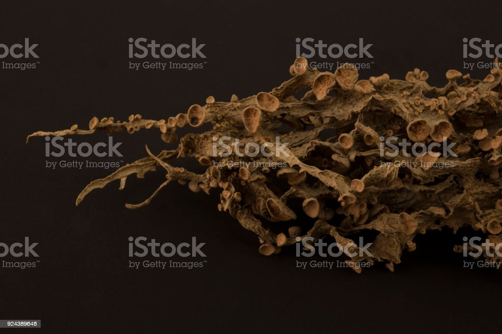 Dried ramalina fraxinea or cartilage lichen closeup royalty-free stock photo