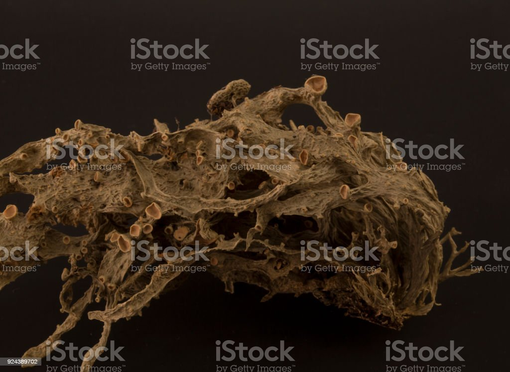 Dried ramalina fraxinea or cartilage lichen closeup royalty-free stock photo