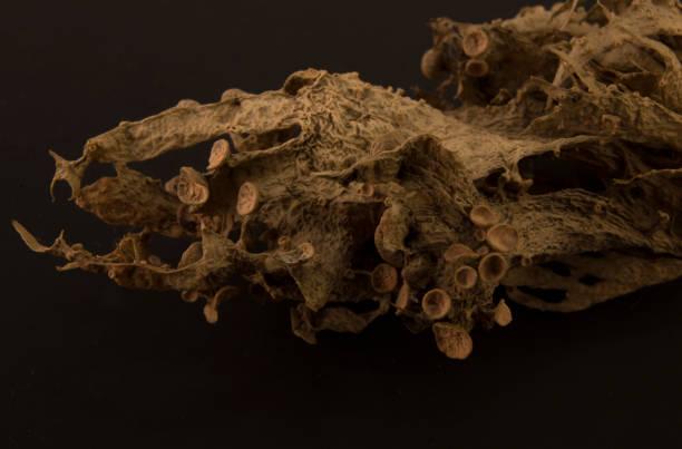 Dried ramalina fraxinea or cartilage lichen closeup stock photo