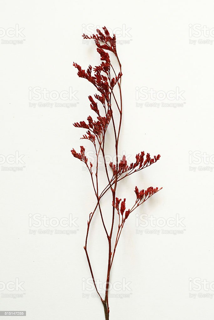 Dried red plant stock photo