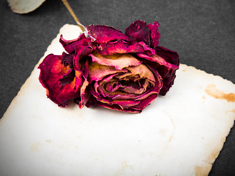 Dried red rose and blank photograph - valentine's background