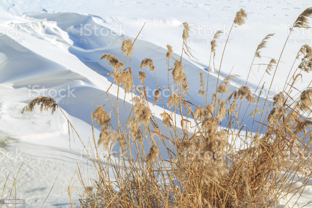 Dried reed on a background of large snowdrifts on a sunny winter day stock photo