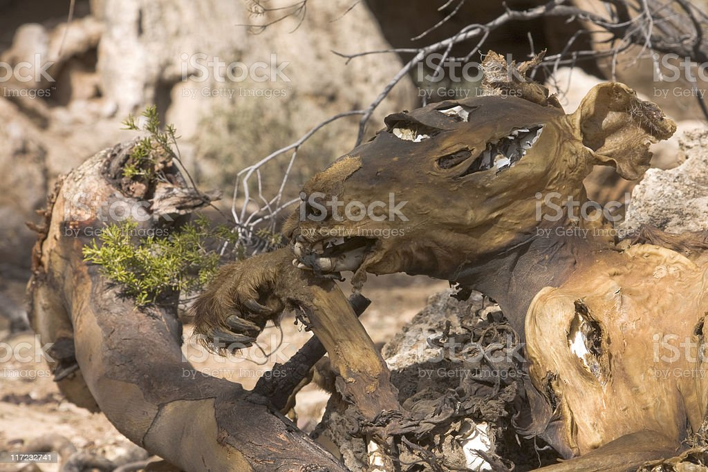 Dried remains of a dead  wallaby (kangaroo) stock photo